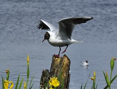 Leighton Moss RSPB (Man with Red Eyes) Tags: naturereserve d3 blackheadedgull rspb leightonmoss nikond3 70210f4d