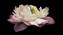 She's like a dream (Toto) Tags: pink macro nikon lotus excellence lotusflower inspirationalquote nikond7000 nikond7k