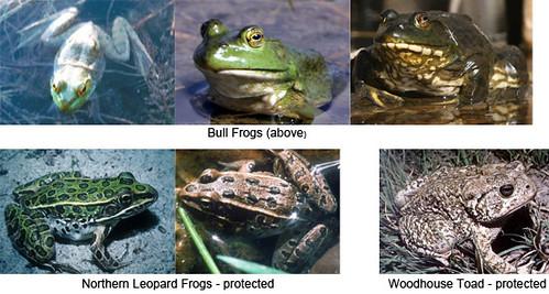 Photo - frog-species