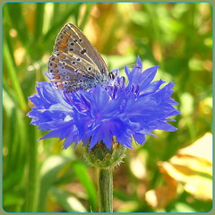 Cornflower with User ! (Rosa Dik 009 -- catching up slowly) Tags: light macro nature colors field composition butterfly flickr details insects quintaflower impression cornflower loweraustria creativecommoms photographystudy summer2013 panasonicdmctz18 rosadik009