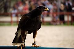 Harris Hawk from Flight of the Raptor (Pahz) Tags: cosplay hawk historical renfaire costuming renaissance bristolrenaissancefaire reenactment renfest brf harrishawk kenoshawi flightoftheraptor