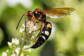Cicada Killer Wasp (Macro)