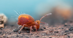 ~Calvatomina rufescens ()~ (Eddie The Bugman) Tags: blue autumn winter red party summer orange macro art beach nature closeup canon season photography interesting colours bright tango popular invertebrate springtail arthropod collembola focusstack hexapoda mpe65mm symphypleona kenkoextensiontube globularspringtail 14xteleconverter colwickpark collembole 580exiispeedlite canon5dmkii zerenestacker edwardnurcombe eddiethebugman calvatominarufescens globbies