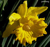 A Daffodil in my garden (pat.bluey) Tags: flower nature yellow daffodil 1001nights warilla newsouthwalesaustralia flickraward awesomeblossoms 1001nightsmagiccity hennysgardens