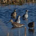 Lesser Yellowlegs & Long Billed Dowitchers thumbnail