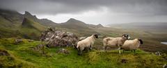 Surveyors (Joe Dunckley) Tags: uk mountains skye animals landscape islands scotland highlands sheep isleofskye innerhebrides hebrides trotternish quiraing