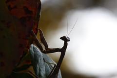 Mantis Silhouette (splitcat) Tags: silhouette bug mantis insect praying prayingmantis