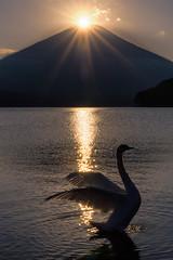 Perfect Timing (Yuga Kurita) Tags: lake bird nature birds japan landscape japanese swan fuji swans fujisan yamanashi fujiyama yamanakako diamondfuji