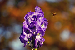 The passion for colors (*Gitpix*) Tags: flowers autumn sun sunlight flower color macro fall nature closeup germany deutschland petals inflight blossom bokeh sony de