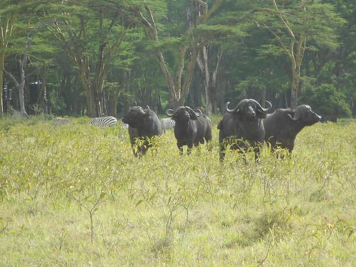 Buffalo and zebras, Nakuru Park
