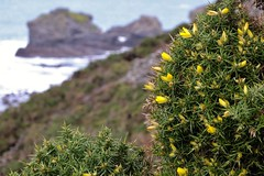 Gorse bush clinging to cliffs above Trevaunance Cove, St. Agnes (35mmMan) Tags: flowers england coast cornwall fuji cliffs finepix coastline rugged gorse stagnes hs25exr