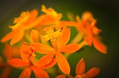 orange [Explore Nov 21, 2013 #497] (Mariasme) Tags: flowers orange macro backyard storybookwinner pregameduelwinner