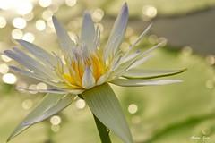 Heart Of Soul (Anna Kwa) Tags: flower macro art nature singapore waterlily bokeh 莲花 睡莲 loronghalusnaturereserves