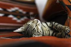 DSC_0018 (justin.regan) Tags: sleeping cat nikon kitten nap redsea kitty jordan catnap napping aqaba justinregan d5100 bedouinmoonvillage