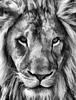 The Lion of Winter (Jeff Clow) Tags: animals lion photoartwork ©jeffrclow