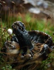 Fongus on mushroom in decay - Blanc sur noir (Vincent L°) Tags: france macro photographie vienne champignon végétal poitoucharentes forêtdemoulière