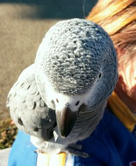 My Grey parrot near home (Patx977) Tags: bird grey parrot africangrey parrots greyparrot flickrandroidapp:filter=none