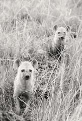 DSC_2304-Edit-1 (Yvonne YF Pang) Tags: cubs botswana hyena sandibe nxabega