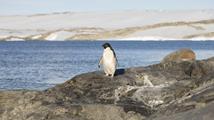 Adélie Penguin, on a rock. (eightythreephoto) Tags: camera canon australia antarctica 100mm adéliepenguin 5dmkiii caseystation