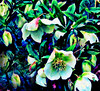 Christmas Rose Cascade (ronramstew) Tags: uk england gardens liverpool hellebore christmasrose mansions merseyside princespark croxtethroad mygearandme