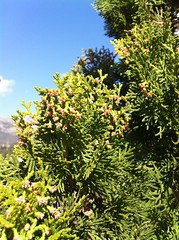 Some cypress tree