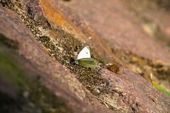 Barren Home (Elfensang) Tags: stone butterfly steine schmetterling kohlweisling