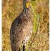 Yellow-necked spurfowl, NNP, Kenya. 10 February 2014.