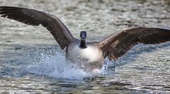 J77A0860 -- A Canada Goose landing (Nils Axel Braathen) Tags: france nature birds canon wildlife goose canadagoose fugler oiseaux oie gås levésinet vogeln canon5dmarkiii mygearandme mygearandmepremium mygearandmebronze