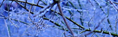 March Ice (skippyclese) Tags: morning blue trees winter ice branches late twigs icey sleet