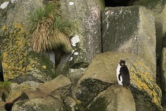 Rare and Endangered Eastern Rock Hopper Penguin Huge Mossy Volcanic Rock Columns Antipodes Islands Remote New Zealand (eriagn) Tags: travel sea newzealand expedition birds landscape volcano lava ancient wildlife exploring feathers cliffs naturalhistory erosion textures boulders pacificocean coastal kelp landslide historical remote geology endangered habitat seaelephant volcanic marinemammal isolated seabirds moulting foodchain elephantseal scientific eroded nutrients wildlifereserve volcanism basaltcolumns wildlifephotography newzealandfurseal birdbehaviour oceancurrents newzealandsealion spiritofenderby erectcrestedpenguin easternrockhopperpenguin eriagn ngairelawson ngairehart antipodesislands mouteremahuemarinereserve