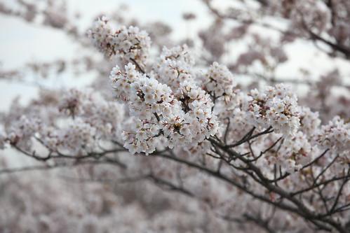 Cherry blossom / SAKURA / 桜(さくら)
