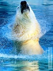 Bear (Matthieu Douhaire) Tags: ocean bear sea wild nature animal canon happy zoo eau 7d capture animaux disparition polaire ocan ourse sigma120300 canon7d