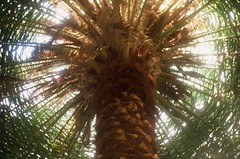 (cheronika) Tags: brown color colour tree green film 35mm branches slide palm velvia greenhouse botanic crown positive zenit botanicgarden helios bolero ravel hight colorfilm positivefilm