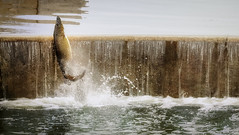 The muskies are jumpin' (Art Walaszek) Tags: fish water jump dam madison handheld splash muskie lakewingra wisonson muskellunge nikkor70300mmvr esoxmasquinongy d800e
