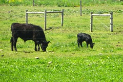Calf (ironmike9) Tags: field cow farm hills calf onondagany