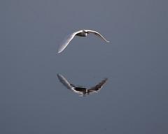 Snowy Egret Reflecting on Life... (explore 7-3-15) (Darts5) Tags: bird birds canon egret snowyegret 7d2 7dmarkii canon7d2 canon7dmarkii 7dmarkll canon7dmarkll ef100400mmlll