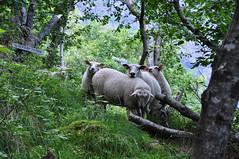Gang owiec | Gang of sheep