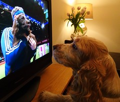 Watching Crufts! (cocopie) Tags: orangeroancockerspaniel crufts