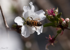 If bees die, people will die. Only ignorance never dies! (Irina1010) Tags: cherryblossom cherry flower spring bee insect macro bokeh nature canon