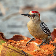 Red-crowned Woodpecker (Melanerpes rubricapillus) (Arturo Nahum) Tags: arturonahum ave aves pájaros bird birds birdwatching nature naturaleza naturephotography wild outdoor airelibre costarica manuelantonio carpintero redcrownedwoodpecker melanerpesrubricapillus
