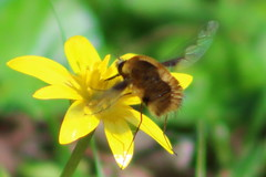 Bee-fly (cheritage101) Tags: beefly bee fly spring yellow flower lesser celandine woodland woods sun sunny sunshine insect wings