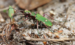 green tiger beetle(explored) (andy_porter69) Tags: green tiger beetle greentigerbeetle macro