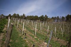 2017-04-01 Weinprobe 0439 (waltemi) Tags: 2017weinprobe thüngersheim weinstock