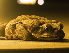 Toad night- Portobelo, Panama (Flortography) Tags: toad amphibian animal animaux nature nationalgeographic macro panama closeup night outdoors unesco rainforest wildlife southamerica tropical species equator