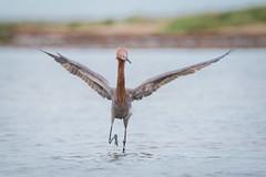 Single Minded (gseloff) Tags: reddishegret bird feeding wildlife surf bolivarflatsshorebirdsanctuary houstonaudubonsociety galvestoncounty texas gseloff