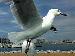 Take Off (AdamsWife) Tags: iphone animal bird gull seagull silvergull albany westernaustralia flight flying