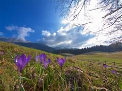 Colori primaverili (Fernando De March) Tags: primavera colori crocus fiori viola sole raggi tambre alpago belluno veneto alpi prealpi cavallo guslon montagna