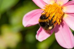 Bumblebee Alpinist (alex.reinig) Tags: luxembourg districtdeluxembourg lu bommel hummel bumblebee