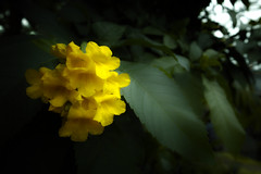 diC (LUSICA_) Tags: flower 花 黄色 yellow