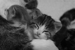 Now to sleep (mcg0011) Tags: gatito kitty cute kat katt katze chat pet feline felino manuelcarrasco kot